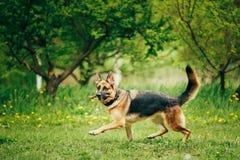 Duitse herder Stick Chewing Outdoor royalty-vrije stock fotografie