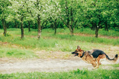 Duitse herder Stick Chewing Outdoor stock foto's