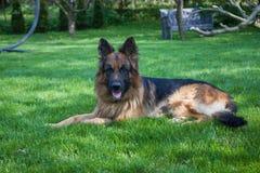 Duitse herder in tuin royalty-vrije stock foto