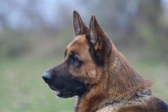 Duitse herder V royalty-vrije stock afbeelding