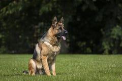 Duitse herderhond royalty-vrije stock foto's