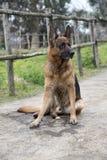 Duitse herderhond die bij het park lopen stock foto