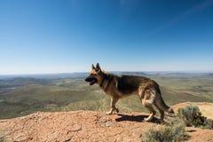 Duitse herderhond die op rand op berg in Karoo Zuid-Afrika lopen royalty-vrije stock afbeeldingen