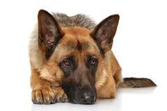 Duitse herderhond het liggen Royalty-vrije Stock Foto