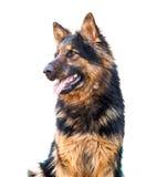Duitse herderhond, over wit wordt geïsoleerd dat Royalty-vrije Stock Afbeeldingen