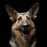 Duitse herderportret op de donkere achtergrond Stock Foto's