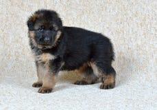 Duitse herderpuppy! stock afbeeldingen