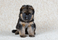 Duitse herderpuppy! royalty-vrije stock foto
