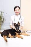 Duitse herderpuppy bij de dierenarts Stock Fotografie
