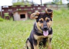 Duitse herderpuppy in het gras Stock Fotografie