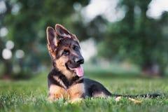 Duitse herderpuppy in openlucht in de zomer Stock Foto's