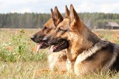 Duitse herders Royalty-vrije Stock Fotografie