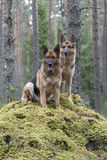 Duitse herders Royalty-vrije Stock Foto's