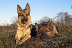 Duitse herders Stock Foto's