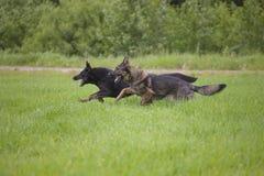 Duitse herders Stock Afbeeldingen