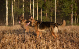 Duitse herders Royalty-vrije Stock Foto