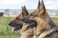 Duitse herders Royalty-vrije Stock Afbeelding