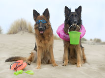 Duitse herders op het strand Royalty-vrije Stock Afbeeldingen