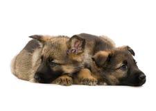 Duitse herders puppys Royalty-vrije Stock Foto
