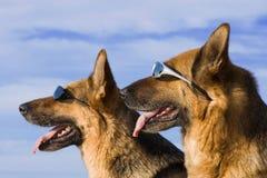 Duitse herders in zonglazen Royalty-vrije Stock Foto