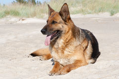 Duitse herdershond stock fotografie