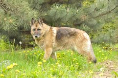 Duitse herdershond stock afbeeldingen