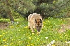 Duitse herdershond royalty-vrije stock foto