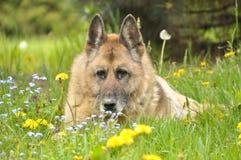Duitse herdershond stock foto