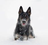 Duitse Herdershond in sneeuw royalty-vrije stock foto's