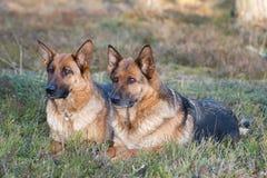 Duitse herdershonden Royalty-vrije Stock Fotografie