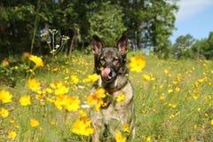 Duitse herderzitting in de zon op een gebied van gele bloemen Stock Afbeelding