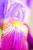Duitse Iris Royalty-vrije Stock Afbeeldingen