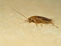 Duitse kakkerlak, Blattella-germanica op gele muur, profiel M Royalty-vrije Stock Foto