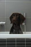 Duitse kortharige wijzer in een badkuip stock afbeelding