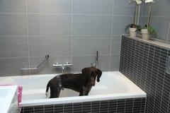 Duitse kortharige wijzer in een badkuip Stock Fotografie