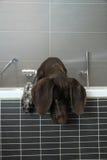 Duitse kortharige wijzer in een badkuip Royalty-vrije Stock Foto