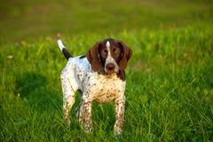 Duitse kortharige wijzer, Duitse kurtshaar bruin bevlekt puppy royalty-vrije stock afbeeldingen
