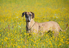 Duitse mastiff # 2 Royalty-vrije Stock Foto