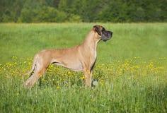 Duitse mastiff Stock Foto