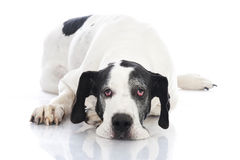 Duitse mastiff Royalty-vrije Stock Foto