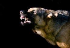Duitse shepard Royalty-vrije Stock Afbeeldingen