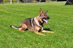 Duitse shepard bij hond opleiding Stock Foto's