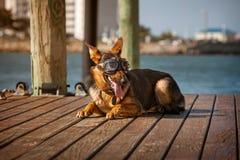 Duitse shepard die beschermende brillen dragen Royalty-vrije Stock Fotografie