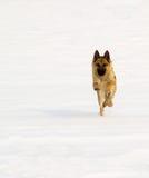 Duitse sheperd op sneeuw Stock Afbeeldingen