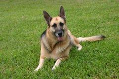 Duitse sheppard die in het gras legt Royalty-vrije Stock Foto