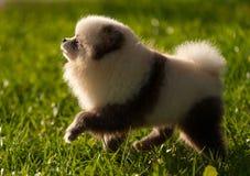 Duitse spitz-hond op gang royalty-vrije stock afbeelding