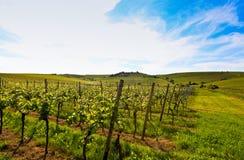 Duitse wijngaard dichtbij de Rijn rivier Stock Foto's