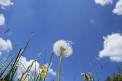 Duitsland, grassen en blowball in de zomer Stock Afbeeldingen