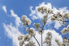 Duitsland, Rijnland-Palatinaat, Kersenboom, witte kersenbloesems stock foto's