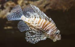 Duivel firefish royalty-vrije stock afbeelding